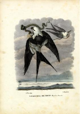 Swallow-Tailed Kite 1863-79