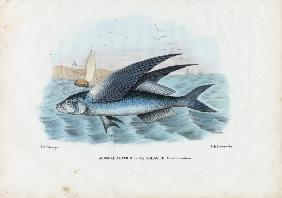 Tropical Two Wing Flyingfish 1863-79