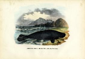 West Indian Manatee 1863-79