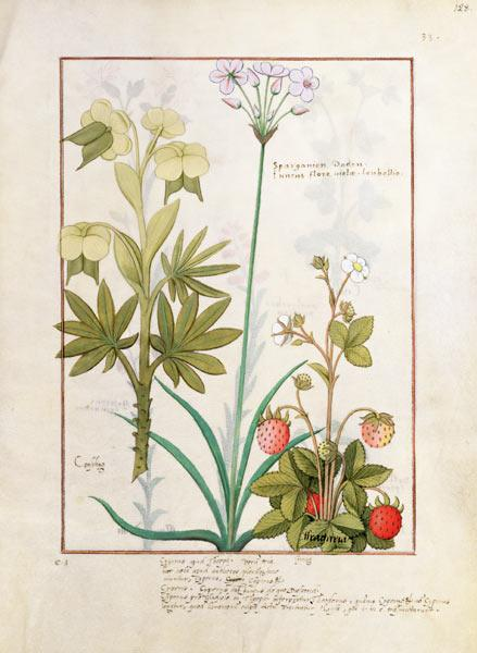 Ms Fr. Fv VI #1 fol.128r Consiligo, Burreed and Strawberry, illustration from 'The Book of Simple Me c.1470