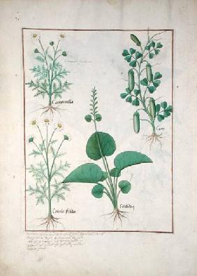 Chamomile (top left) and Cucumber (right) Illustration from 'The Book of Simple Medicines' by Matthe c.1470