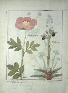 Ms Fr. Fol VI #1 Paeonia or Peony, and Orchis myanthos c.1470