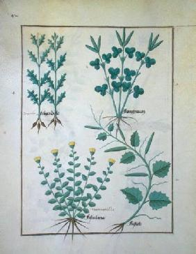 Ms Fr. Fv VI #1 f.132v Top row: Filipendula. Bottom row: Fistularia and Faseolus, illustration from c.1470