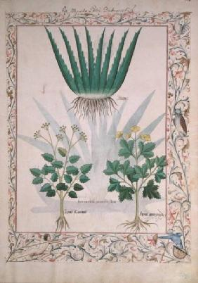 Ms Fr. Fv VI #1 fol.112 Aloe and Apio illustration from 'The Book of Simple Medicines'  c.1470