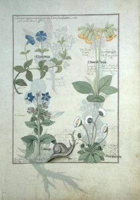Ms Fr. Fv VI #1 fol.114 Top row: Blue Clematis or Crowfoot and Primula. Bottom row: Borage or Forget  c.1470