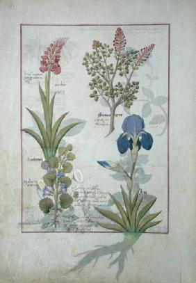 Ms Fr. Fv VI #1 fol.114v Top row: Orchid and Fumitory or Bleeding Heart. Bottom row: Hedera and Iris c.1470