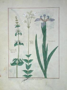 Ms Fr. Fv VI #1 fol.115v Lamium Album or White Dead Nettle, Melandryon, and Iris Minor c.1470
