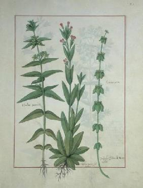 Ms Fr. Fv VI #1 fol.116 Elusae Gennus, Caraway Thyme, and Crosswort c.1470