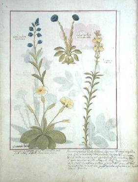 Ms Fr. Fv VI #1 fol.117 Top row: Onobrychis or Sainfoin, and Aphyllanthes. Bottom row: Linaria Lutea c.1470