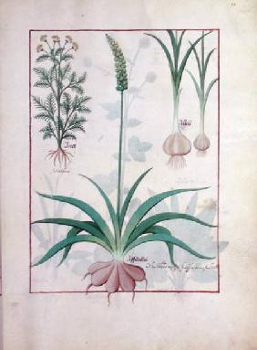 Ms Fr. Fv VI #1 fol.119r Garlic and other plants c.1470