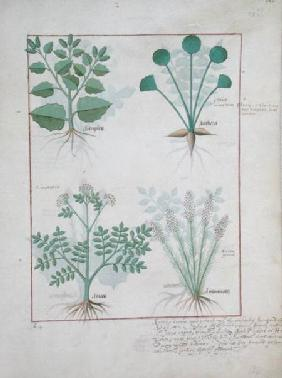 Ms Fr. Fv VI #1 fol.123r Top row: Salt Bush and Anthora. Bottom row: Absinthium and Cardamom c.1470