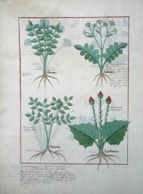 Ms Fr. Fv VI #1 fol.123v Top row: Ligustrum and Acanthus. Bottom row: Grass plant and Apollinaris, i c.1470