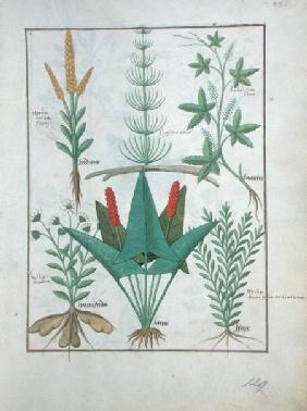 Ms Fr. Fv VI #1 fol.125r Top row: Maize, Equisetum and Labruscae flos. Bottom row: Daisy, Jarus and c.1470