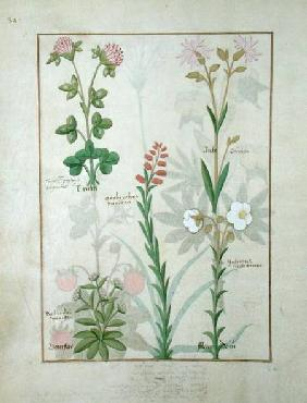 Ms Fr. Fv VI #1 fol.128v Top row: Red clover and Aube. Bottom row: Bellidis species, Onobrychis and c.1470