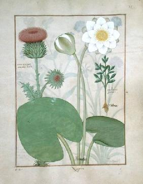 Ms Fr. Fv VI #1 fol.129r Plumed thistle, Water lily and Castor bean plant, illustration from 'The Bo c.1470