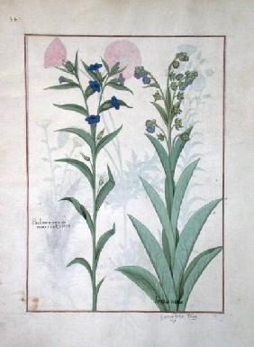Ms Fr. Fv VI #1 fol.130v Pulmonaria and Lungwort, illustration from 'The Book of Simple Medicines' c.1470