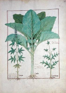 Ms Fr. Fv VI #1 fol.145r Cannabis, Brassica and Thistle c.1470