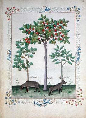 Ms Fr. Fv VI #1 fol.162r Hazelnut Bush (left) and Cherry tree (centre) c.1470