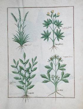Ms Fr. Fv VI #1 fol. 126r Top row: Lolni and Geranium. Bottom row: Daphnoides and Parsley, illustrat c.1470