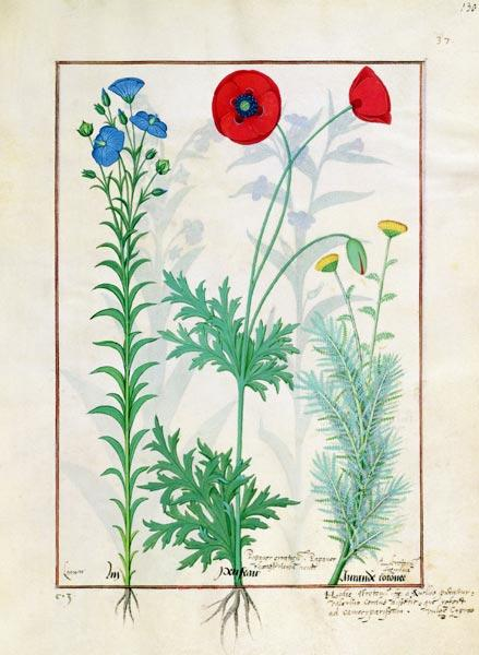 Ms Fr. Fv VI #1 fol.130r Linum, Garden poppies and Abrotanum, illustration from 'The Book of Simple c.1470