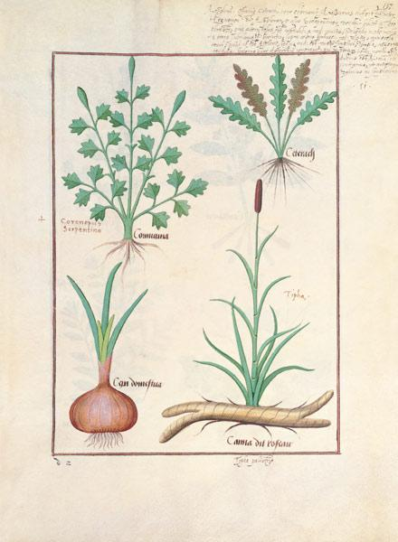 Illustration from 'ThedBook of Simple Medicines' by Mattheaus Platearius (d.c.1161) c.1470