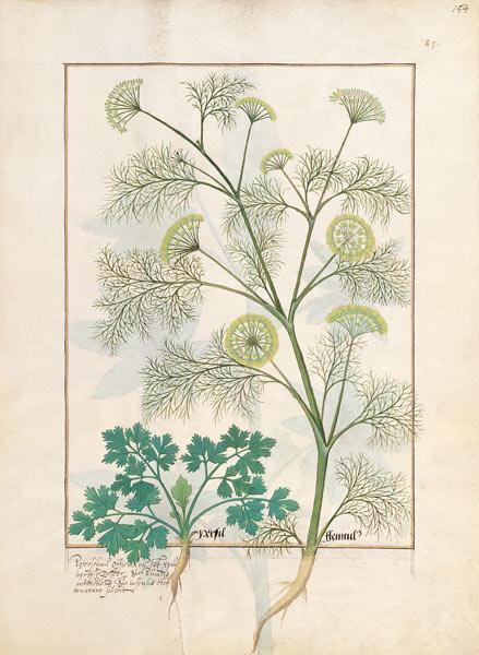 Ms Fr. Fv VI #1 fol.154r Parsley and Fennel c.1470