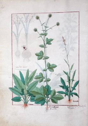 Sorrel and Gariofilata (Benedicta Wood) illustration from 'The Book of Simple Medicines' by Mattheau c.1470