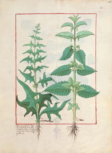 Urticaceae (Nettle Family) Illustration from the 'Book of Simple Medicines' by Mattheaus Platearius c.1470