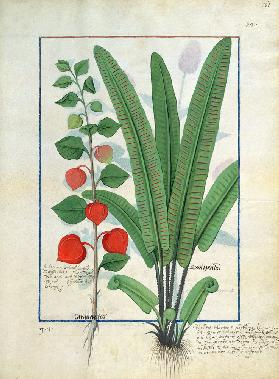 Physalis (left) Illustration from the 'Book of Simple Medicines' by Mattheaus Platearius (d.c.1161) c.1470
