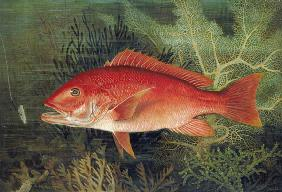 Red Snapper, from 'Game Fishes of the United States', published 1878 (chromolitho)