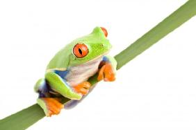 frog on a leaf isolated