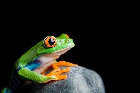red-eyed tree frog on a rock isolated