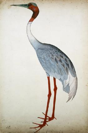 Sarus Crane, painted for Lady Impey at Calcutta c.1780