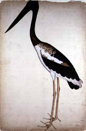 Blacknecked Stork, Xenorhynchus Asiaticus, painted for Lady Impey at Calcutta c.1780