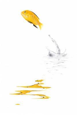 Springender goldfisch thomas lammeyer als kunstdruck for Teichreinigung mit fischen