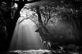 Light and Deer