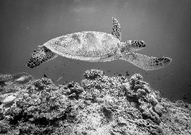 Sea Turtle at Sipadan